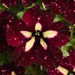Featured Plants & Flowers - Eckerts Greenhouse - PET_HeadlinerStarrySkyBurg