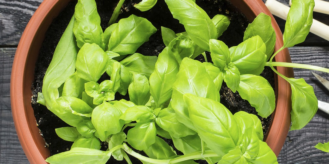 Vegetables, Fruits & Herbs Sterling Heights MI - Edible Gardening | Eckert's Greenhouse - Basil