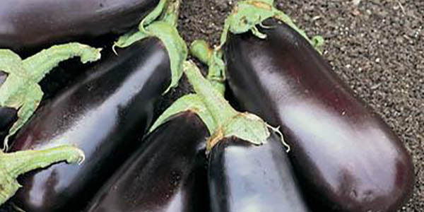 Vegetables, Fruits & Herbs Sterling Heights MI - Edible Gardening | Eckert's Greenhouse - Eggplant