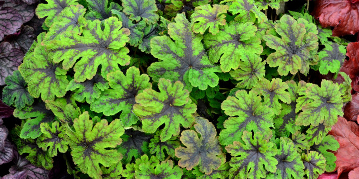 Perennial Flowers Madison Heights MI - Eckert's Greenhouse - Tiarella_fingerpaintresized
