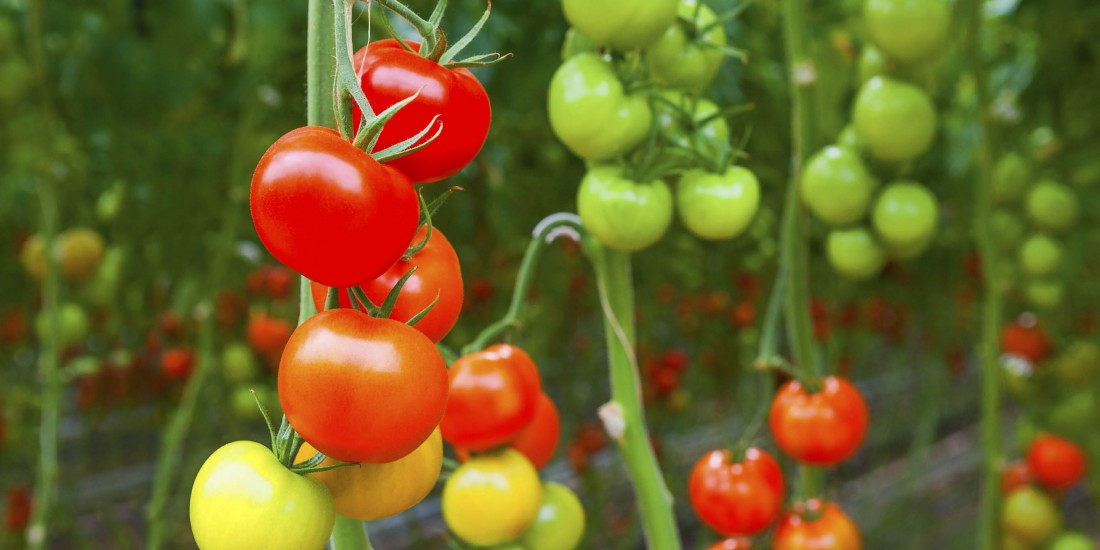 Vegetable Varieties - Eckerts Greenhouse - tomatoes