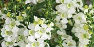 Annual Plants Warren MI - Locally Grown Plants - Eckert's Greenhouse - xAngelonia_cascadeWhite