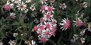 Perennial Flowers Utica MI - Locally Grown Plants - Eckert's Greenhouse - xAster_ladyinblack