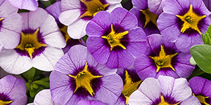 Annual Plants Clawson MI - Eckert's Greenhouse - xCalibrachoa_Superbells_eveningstar