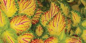 Perennial Flowers Utica MI - Locally Grown Plants - Eckert's Greenhouse - xColeus_ElectricSlide