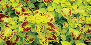 Perennial Flowers Utica MI - Locally Grown Plants - Eckert's Greenhouse - xColeus_Pepperpot