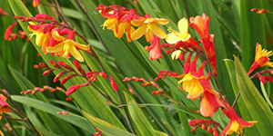 Exotic Plants Troy MI - Locally Grown Plants - Eckert's Greenhouse - xCrocosmia_Harlequin
