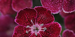 Exotic Plants Troy MI - Locally Grown Plants - Eckert's Greenhouse - xDianthus_everlastlavenderlace