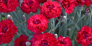 Exotic Plants Troy MI - Locally Grown Plants - Eckert's Greenhouse - xDianthus_maraschino