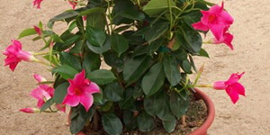 Exotic Plants Madison Heights MI - Locally Grown Plants - Eckert's Greenhouse - xMANDEVILLA_sunparasolorigpink