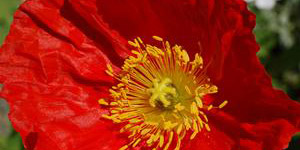 Perennial Plants Royal Oak MI - Eckert's Greenhouse - xPapaver_pulcinellared