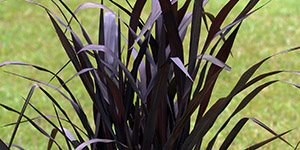 Exotic Plants Fraser MI - Eckert's Greenhouse - xPennisetum_FirstKnight