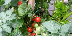 Vegetables, Fruits & Herbs Sterling Heights MI - Edible Gardening | Eckert's Greenhouse - xpatiotomatoes