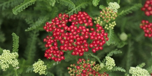 Achillea