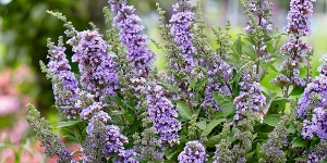 Buddleia