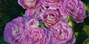 Floribunda Rose <br />'Arctic Blue'