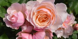 Floribunda Rose