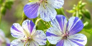 Geranium <br />'Delft Blue'