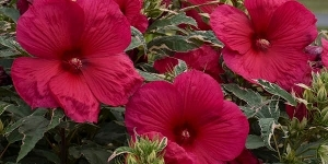 Hibiscus <br />'Summer Carnival'