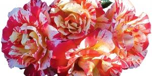 Shrub Rose <br />'Alfred Sisley