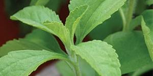 Stevia 'Sweet Leaf'