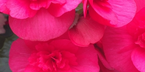 Begonia <br />Elatior 'Evi Bright Pink'