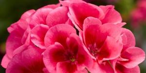 Geranium <br />Calliope 'Rose Mega Splash'