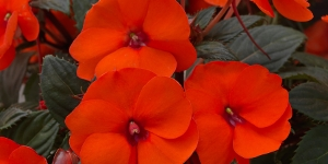 Sunpatiens