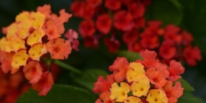 Lantana <br />Bloomify 'Red'