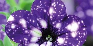 Petunia <br />'Night Sky'