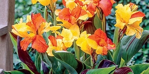 Assorted Cannas