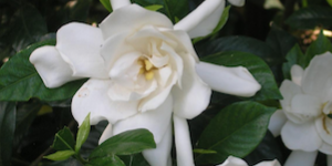 Gardenia Bushes
