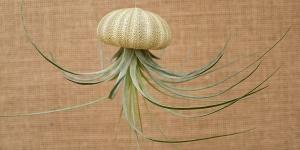Striped Urchin Hanging Shell w/air plant
