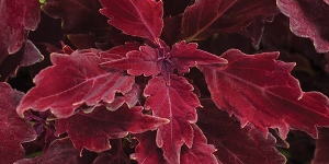 Coleus
