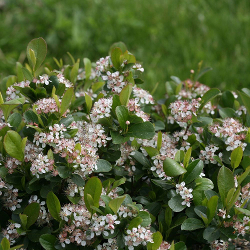 Featured Plants & Flowers - Eckerts Greenhouse - Aronia_Low_Scape_Mound_PW