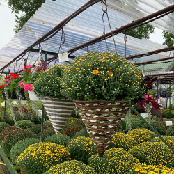 Fall - Eckerts Greenhouse - CONEBSKTMUMS