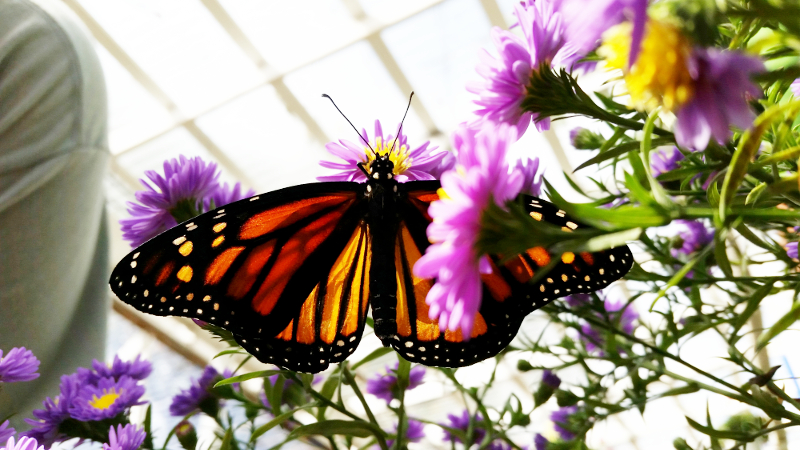 Pollinator Day at Eckert's - Events - Eckerts Greenhouse - Monarch