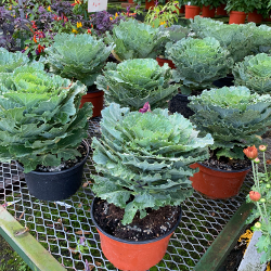 Fall - Eckerts Greenhouse - ORNKALE