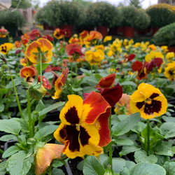 Fall - Eckerts Greenhouse - PANSIES