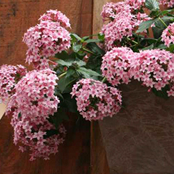 Featured Plants & Flowers - Eckerts Greenhouse - PENTAS_FallingStarHabit