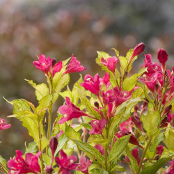 Featured Plants & Flowers - Eckerts Greenhouse - Reblooming_Weigela_SonicBloomGhost_PW