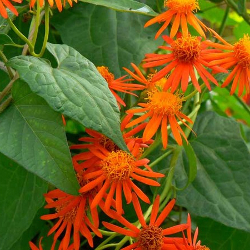 Featured Plants & Flowers - Eckerts Greenhouse - SENECIO_MexicanFlameVine