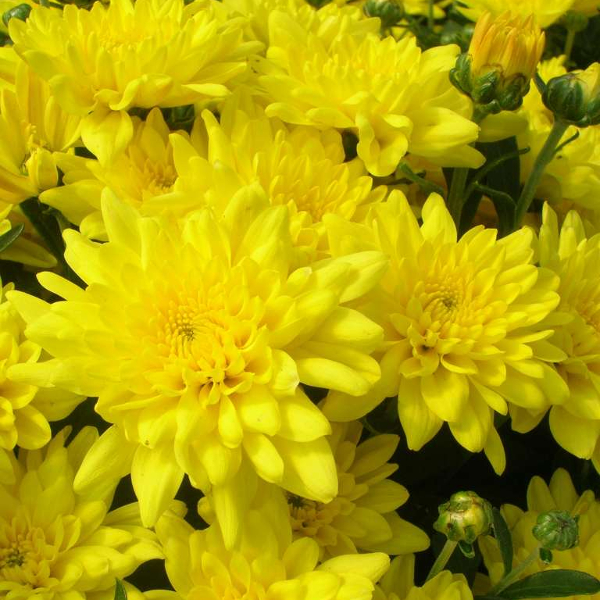 Fall - Eckerts Greenhouse - YELLOW