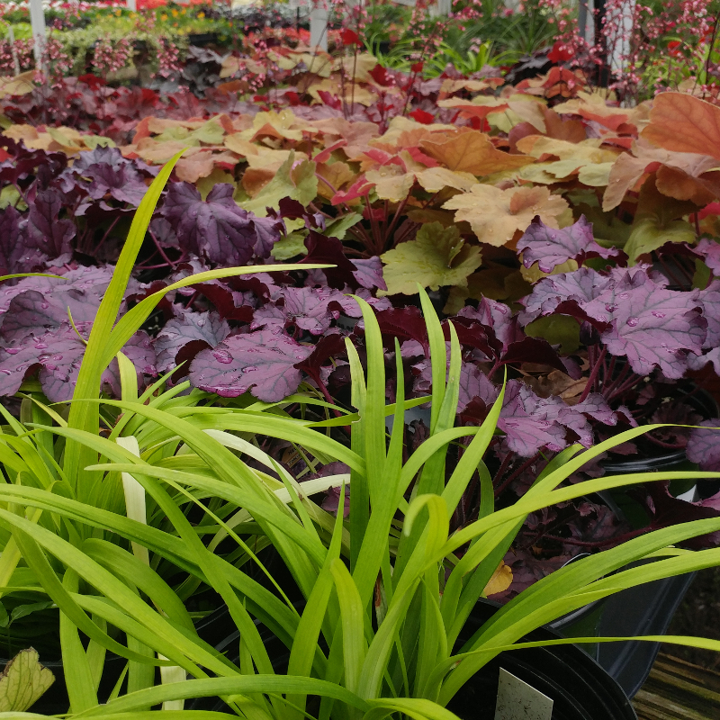 Fall - Eckerts Greenhouse - heuchera