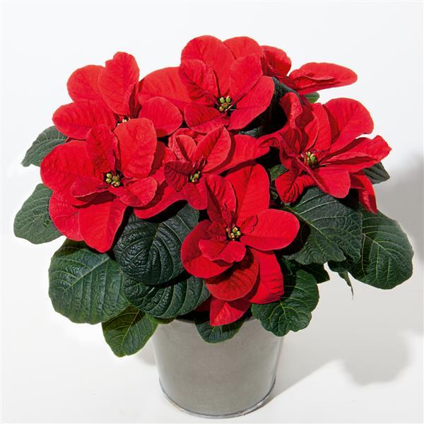 Featured Plants & Flowers - Eckerts Greenhouse - Christmas_Mouse_Red