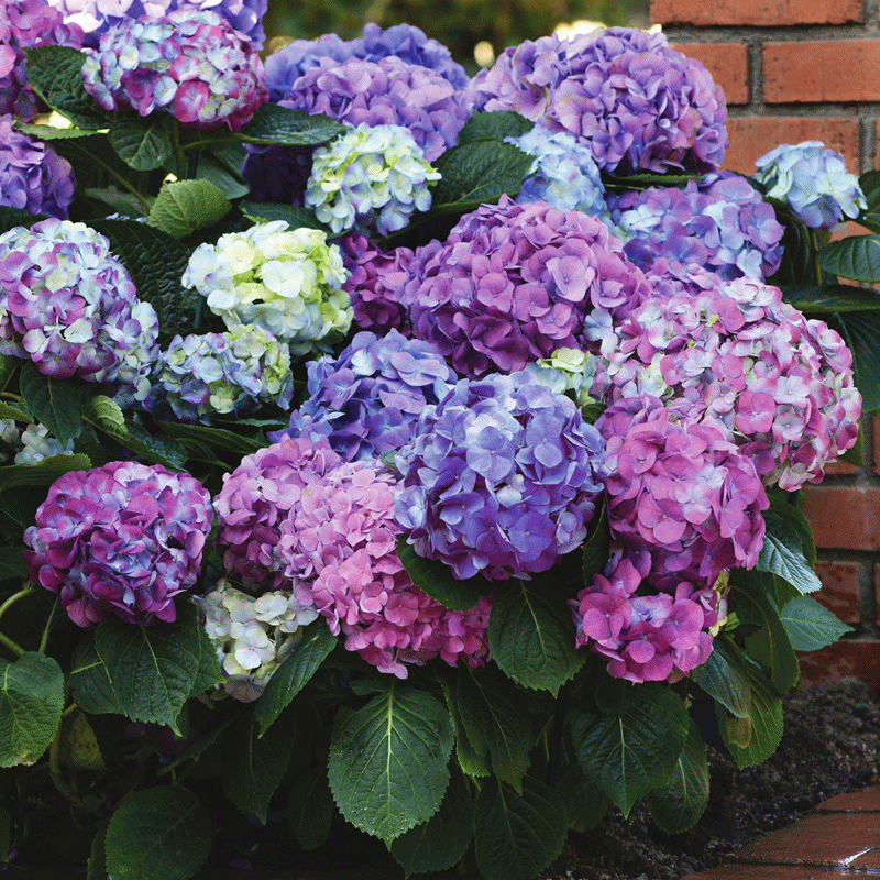 Featured Plants & Flowers - Eckerts Greenhouse - HYDRANGEA_LADreamin