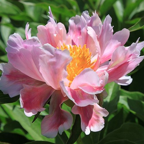 Featured Plants & Flowers - Eckerts Greenhouse - PEONY_Avalon
