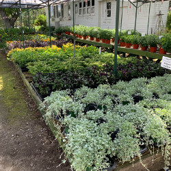 Featured Plants & Flowers - Eckerts Greenhouse - selectannual