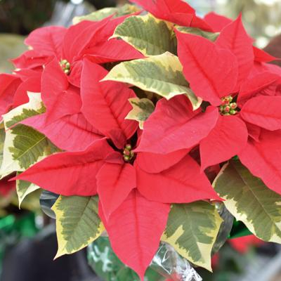 Featured Plants & Flowers - Eckerts Greenhouse - tapestry-poinsettia-SQ