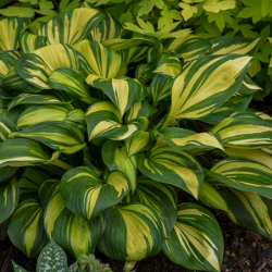 Featured Plants & Flowers - Eckerts Greenhouse - AHGA2021Hosta-RainbowsEnd